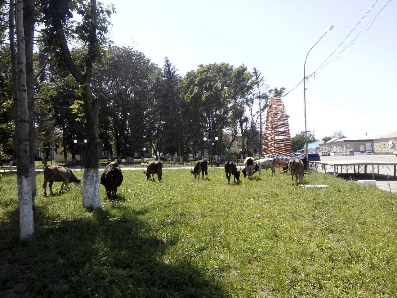 В станице Зеленчукской бесхозно гуляющий скот будет отправляться на переработку