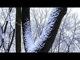 Зима. Деревья в Снегу. Заснеженные Деревья. Зимние Футажи