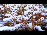 Зима. Кусты в Снегу. Заснеженные Кусты. Зимние Футажи
