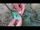 Окулировка для новичков - просто и доступно о прививке деревьев