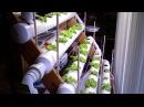 Миниатюрный салат на гидропонике