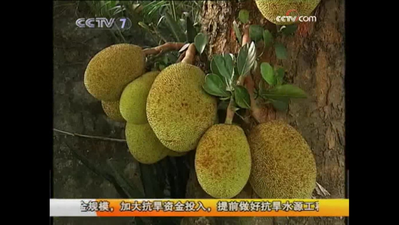 Джекфрут ''Боломи'', или Канун, или Индийское хлебное дерево - выращивание растения по малазийскому методу.