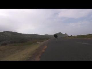 Страус бежит за велосипедистами