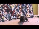 трюки домашних крыс 15 лучших
