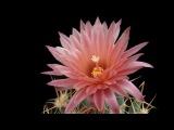 FANTASTICAS FLORES DE CACTO-FANTASTIC CACTUS FLOWERS