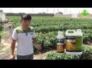 Аминокислотные удобрения Энрайвелл, Велламин, Алгавелл при выращивании томата, перца, баклажана