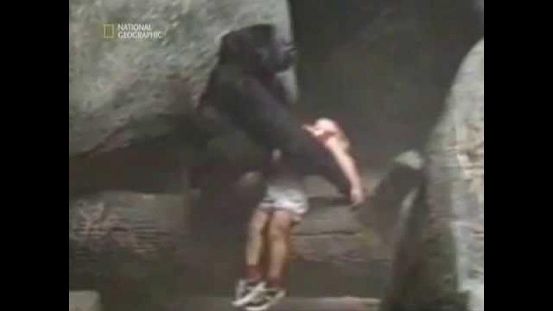 ШОК! 3-х летний ребенок упал в вольер с гориллами