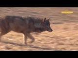 Охота на волка Охотничьи истории