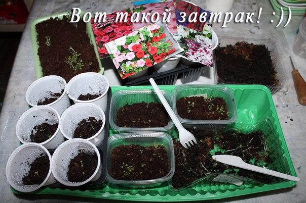 Выращивание баклажанов до посадки в грунт