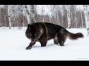 Восхождение чёрного волка Документальные фильмы National Geographic HD