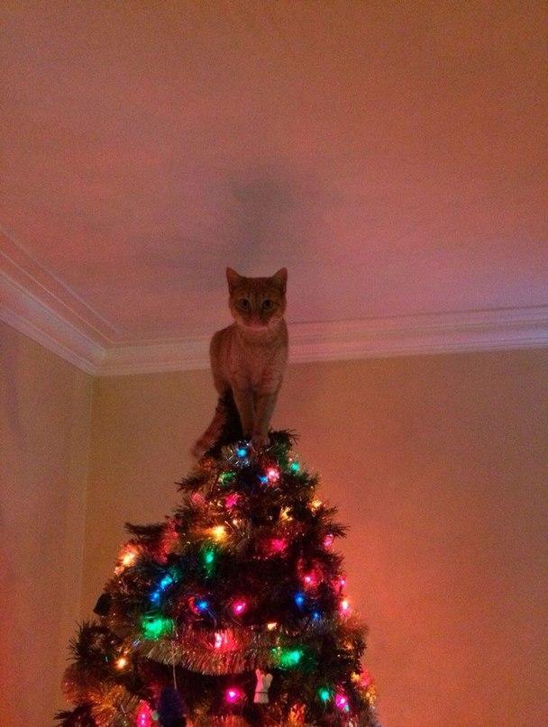 B6JCtE 69Wk - Как кошки могут помочь украсить новогоднюю елку (ФОТО)