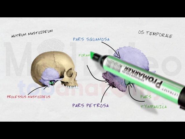 Череп 3: Височная кость; каналы височной кости