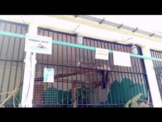 Пума мяукает в ленинградском зоопарке