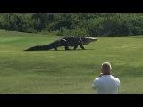 Гигантский аллигатор гуляет по полю для гольфа во Флориде