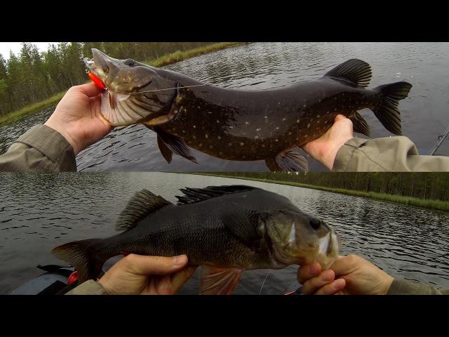 Hauen ja ahvenen kalastusta lammella   Pike and perch fishing in remote ponds
