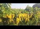 Üzüm Bağı Coştu Rekor Gelişim Üzüm-Bağ Fidanı Saruhanlı Mütevelli