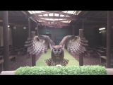 Milky eagle owl in slow motion