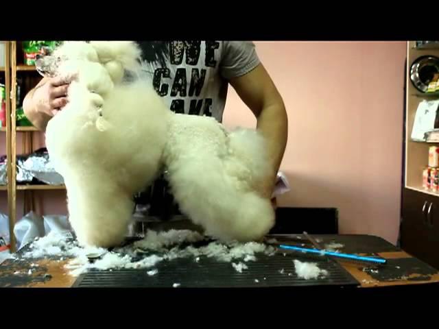 стрижка пуделя скандинавский лев видеокурс Poodle grooming