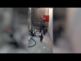 Пингвины Мадагаскара пытаются сбежать из зоопарка