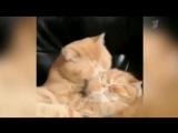 Рыжие коты целуются как в романтическом фильме