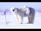 Best video about polar bears. (Chill mix). Beautiful nature (HD video). Good video