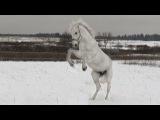 Орловский рысак -  мой снежный мальчик