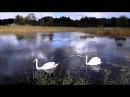 В Захаров Упала птица в камыши, лишили лебедя полета...