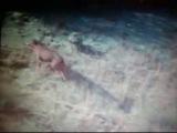 Американский барсук vs Родезийский риджбек (American Badger Vs Rhodesian Ridgeback)