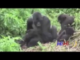 Спаривание животных, Monkey Chimpanzee Gorilla Mating Funny Videos Compilation 2015