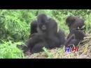 Спаривание животных, Monkey Chimpanzee Gorilla Mating Funny Videos Compilation 2015