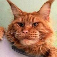 фото мейн-кун котята