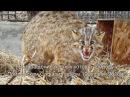 Возвращение лесных котов в природу Приморским Сафари-парком