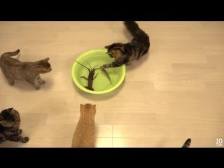 Коты и лобстер