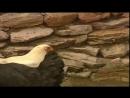 Shordanak - Ogri ¦ Шурданак - Угри (hajviy korsatuv)