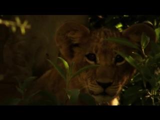 Последние Львы  (сильнейший фильм про львов) Nat Geo Wild