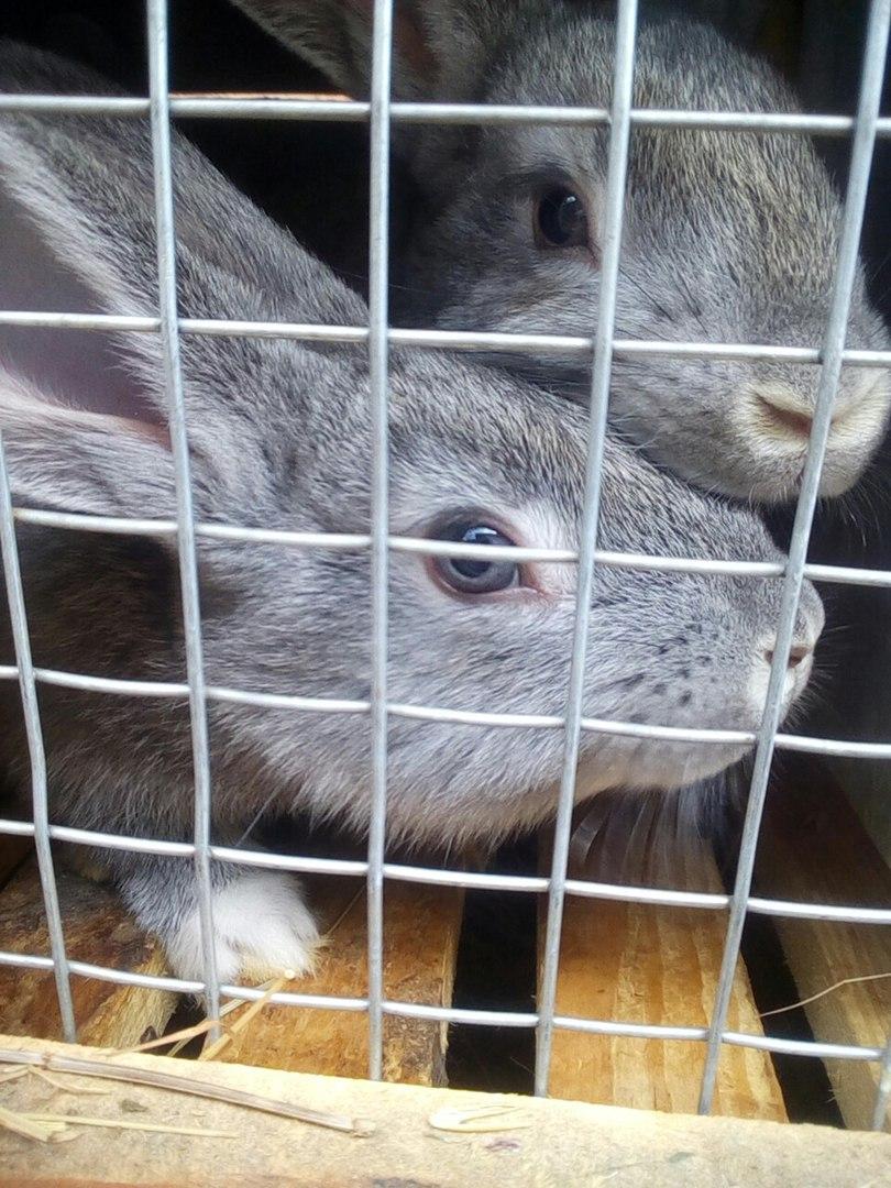 Молочный кролик
