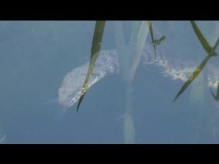 Подводная охота гадюки