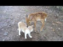 Baby Deer Kitten become Friends By The Lighthouse Lady