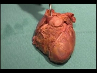 Acland human anatomy