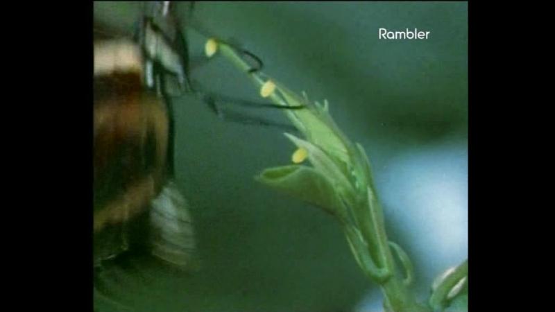 Защитная адаптация Пассифлоры(Страстоцвет)