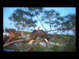 SW Fla  eagles 11 10 16 H &amp M Drinking water at Pond &amp more mating this evening