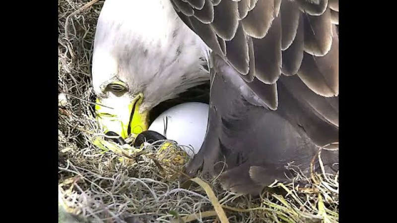 AEF-NEFL Eagles 11-16-14 Juliet Lays First Egg ~ Dual Cam View