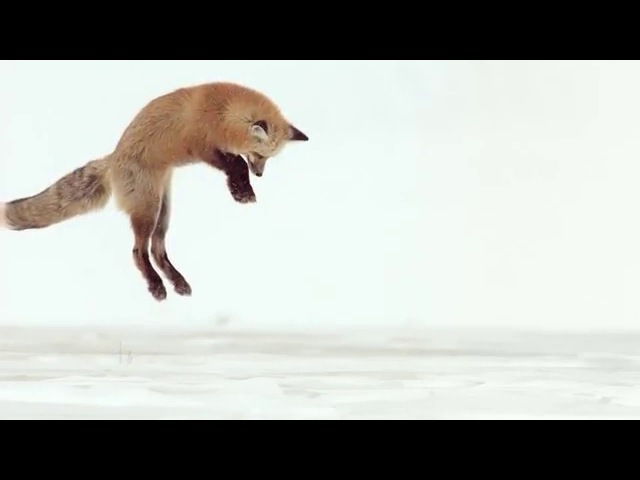 Fox Dives Headfirst Into Snow (In Slow Motion)