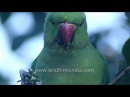 Intimate look at Rose-ringed Parakeet as it eats Ber or Zizyphus fruit