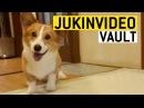 Corgi Dog Videos from the JukinVideo Vault