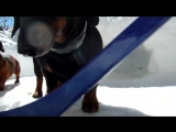 Поиграть с таксой в хоккей