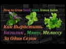 Как Вырастить Базилик Мяту Мелиссу How to grow basil mint lemon balm