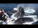 Amazing Humpback Whales Lunge Feeding up close Monterey Bay 9 16 15