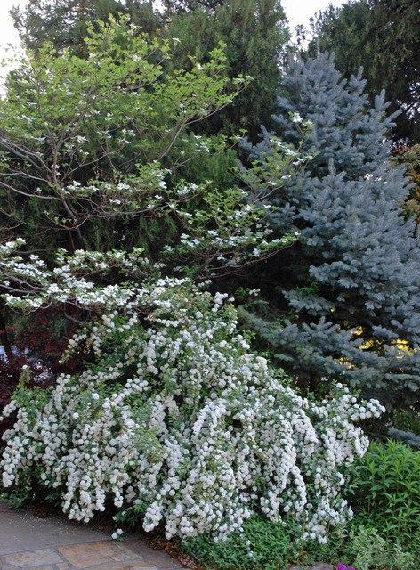 Спирея-спирея в ландшафте сада, спирея среди хвойных
