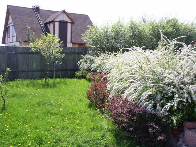 Спирея-спирея в ландшафте сада